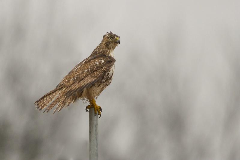 Wet Hawk in the Rain