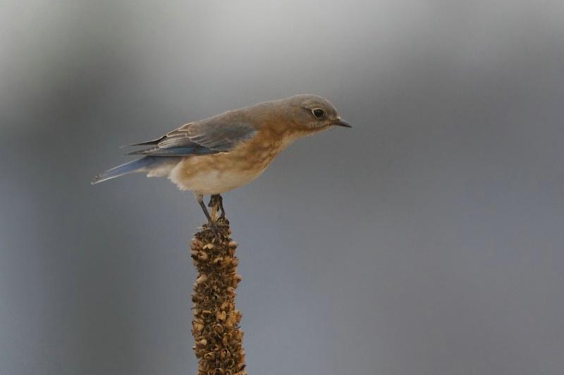 Bluebird on Mullein