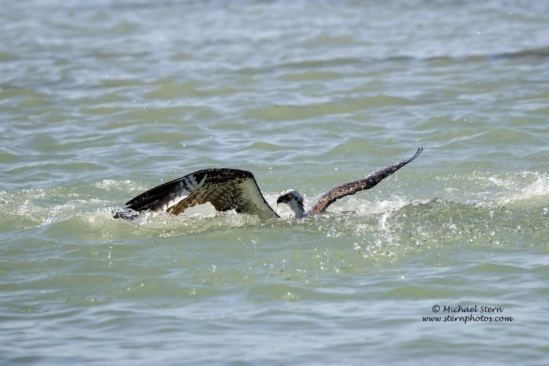 osprey-coming-up-from-dive1-flamingo-richmarch0920