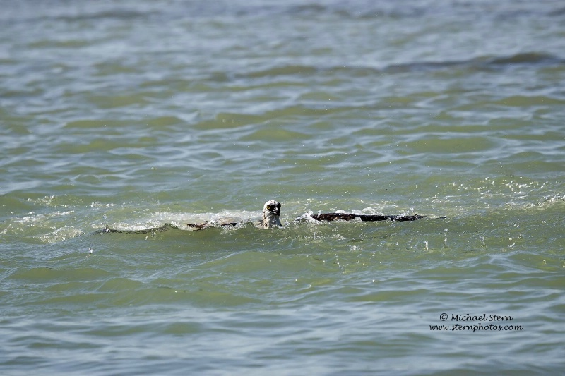 osprey-coming-up-from-dive-2-flamingo-richmarch092