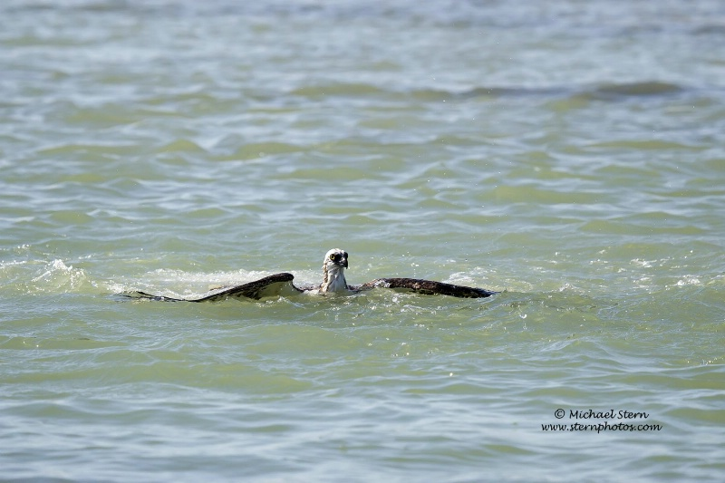 osprey-coming-up-from-dive-3-flamingo-richmarch092