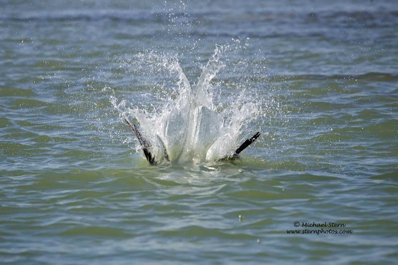 osprey-splash-down-flamingo-richmarch092013 3104