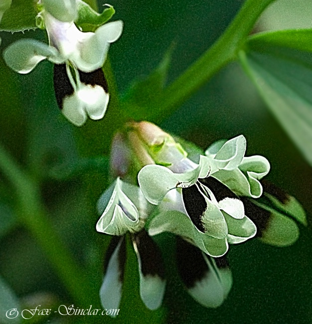 Fava Flowers