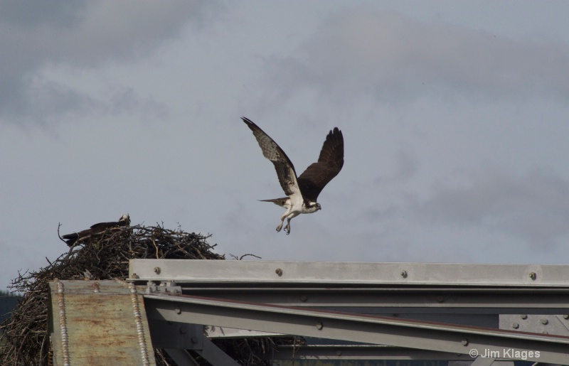 Osprey mating pair
