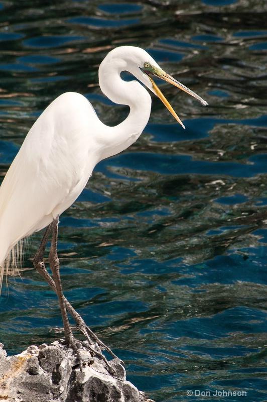 Surprised Egret