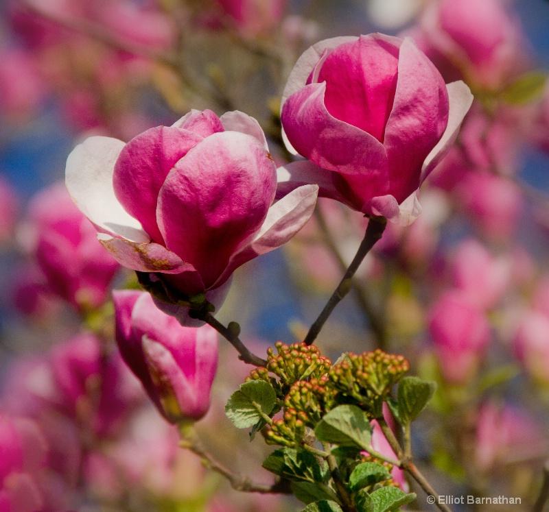 Magnolias 2
