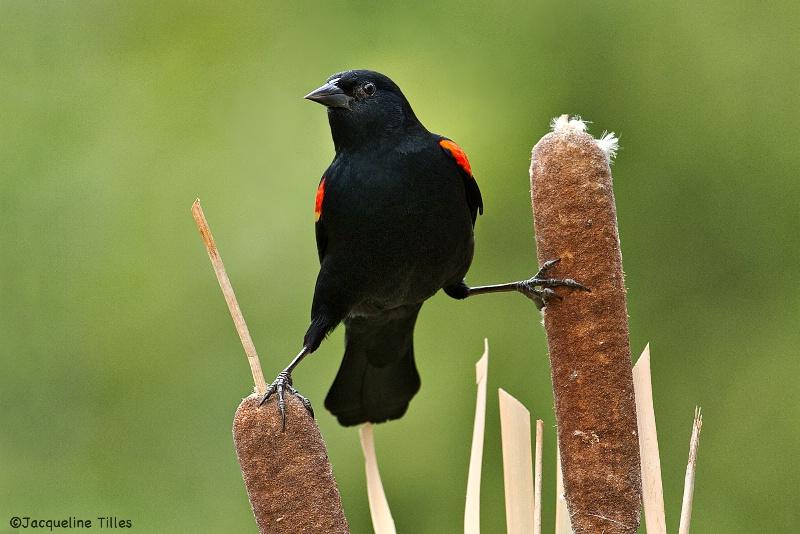 Red-winged Blackbird on Cattails