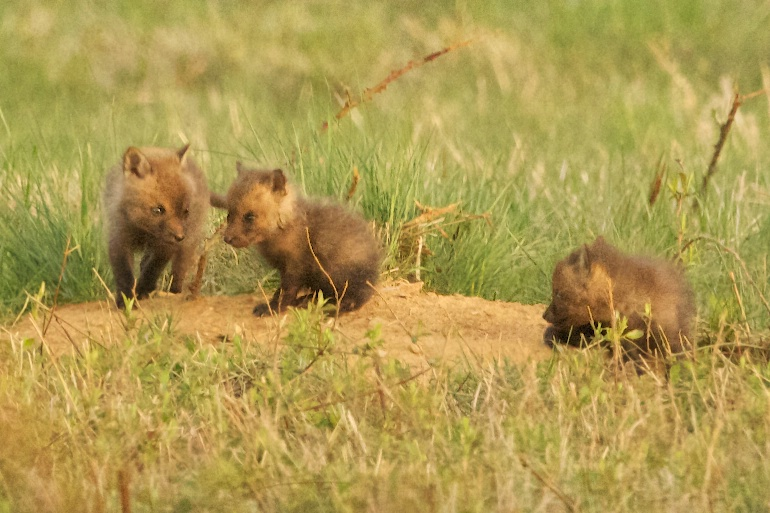 The Three Cubs