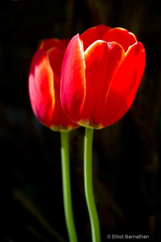 Twin Tulips