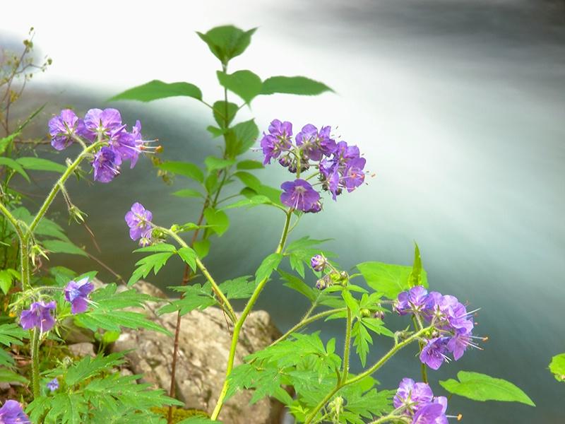 Streamside Blooms