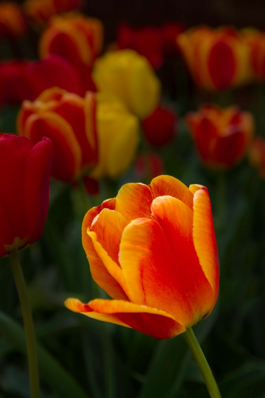 Enlightened Tulip