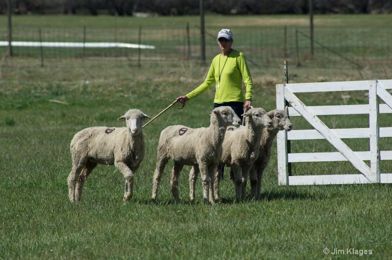 Encouraging the sheep to enter the pen.