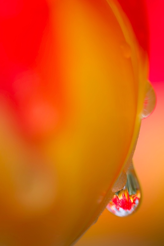 Tulips In A Drop