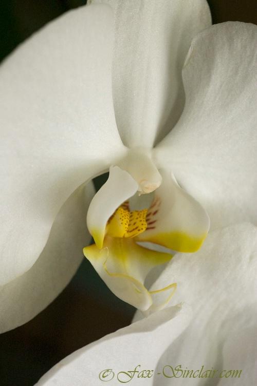 Orchid's Flight