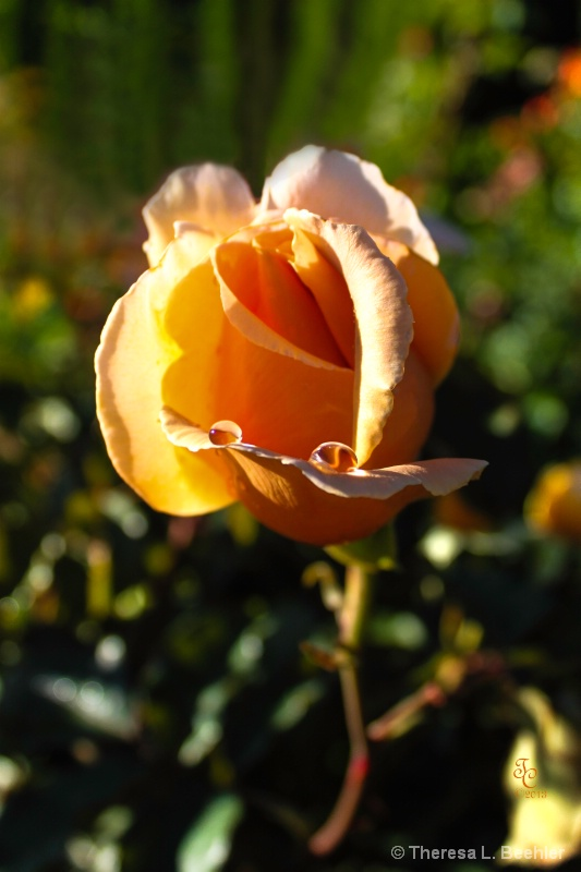 Yellow Rose with Teardrops ...