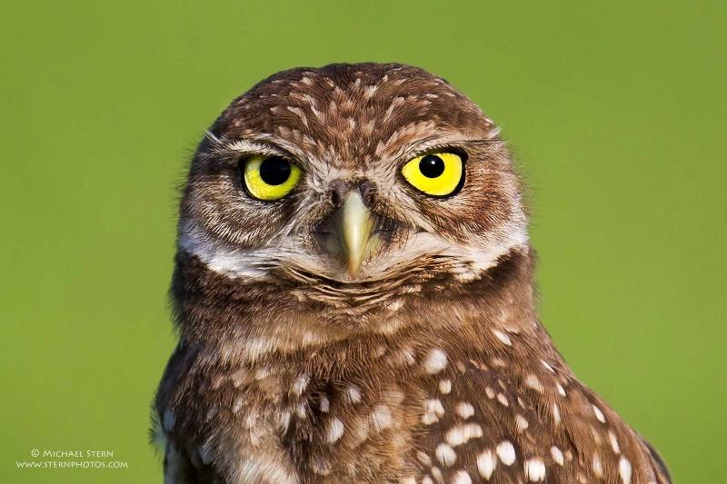 baby-burrowing-owl-head-shot-brian-p-parkjune17201