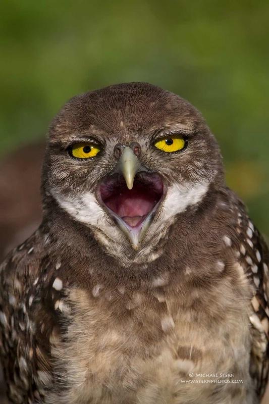 burrowing-owl-baby-mouth-open-wide-brian-p-parkjun