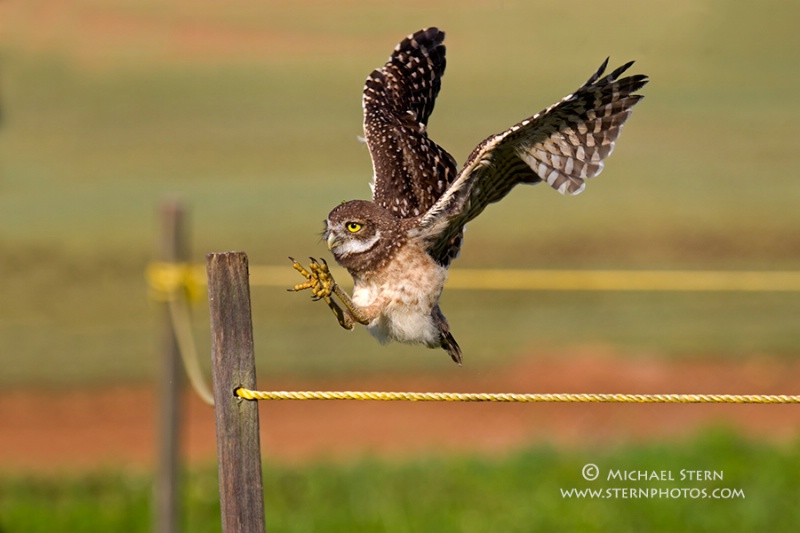 email-baby-owl-flight-2-brian-p-parkmay132013 3739