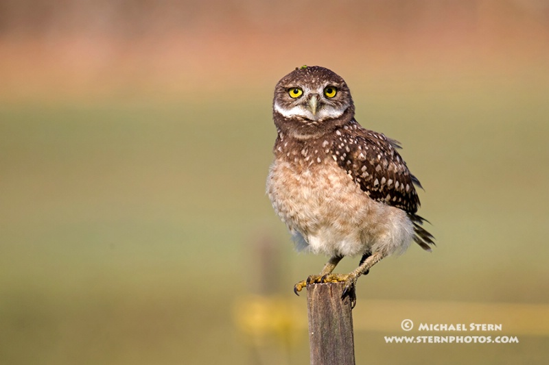 email-baby-owl-sitting-on-stake-brian-p-parkmay132