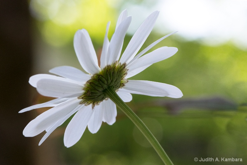 back of a daisy