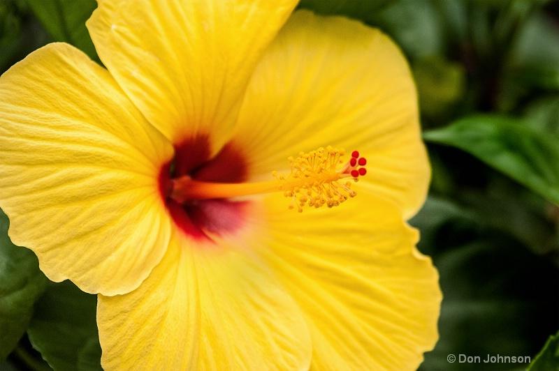 Pittsburgh Yellow Hibiscus