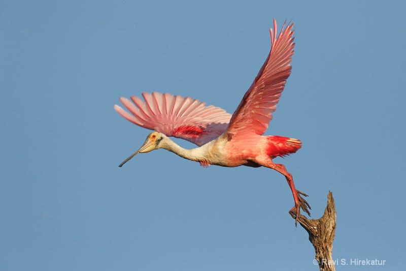Spoonbill taking off
