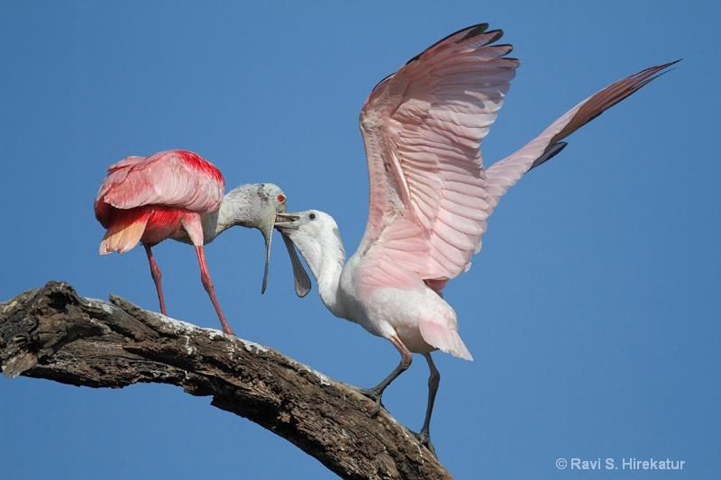 Spoonbill parent feeding the juvenile