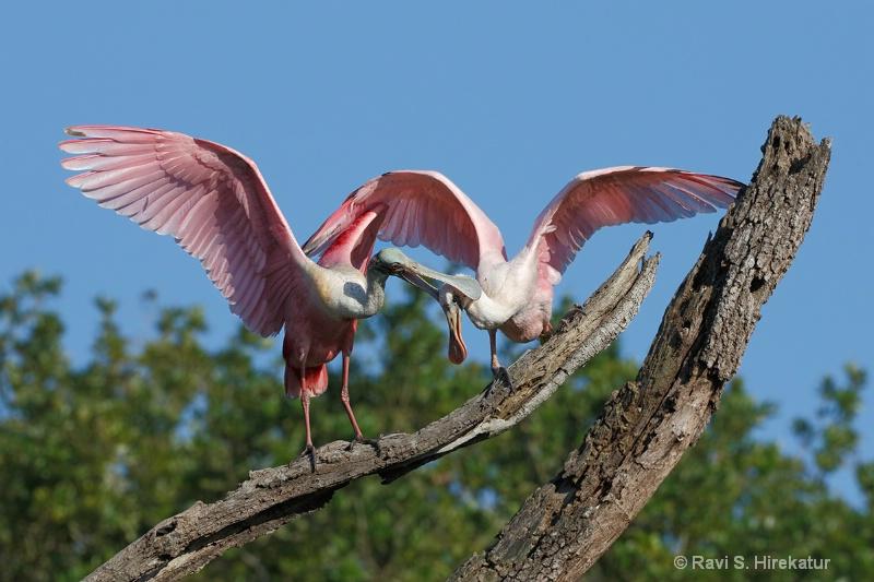Roseate Spoonbill parent descipling the juvenile