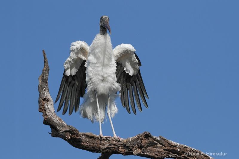 Woodstork shaking wings