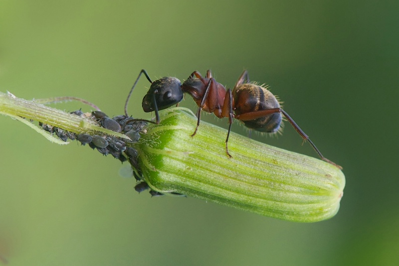 The Ant and the Aphids
