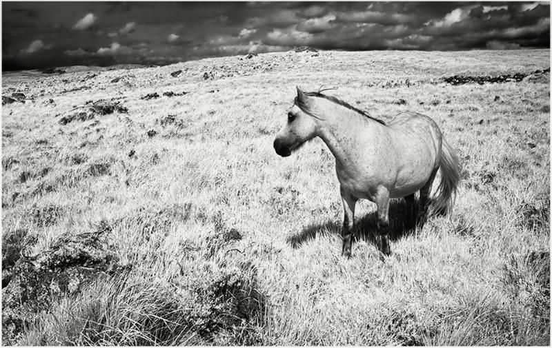 Wild Horse in Connemara