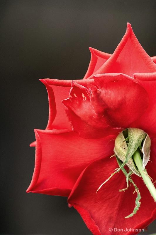 Back of Red Rose