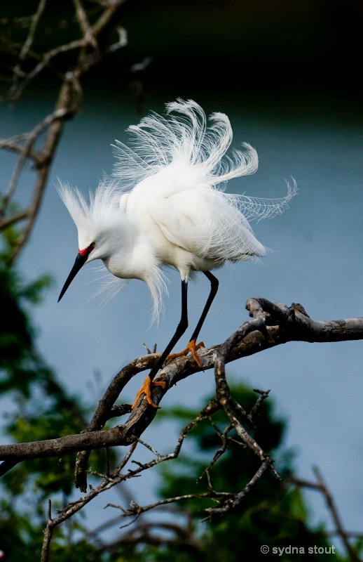 little egret .