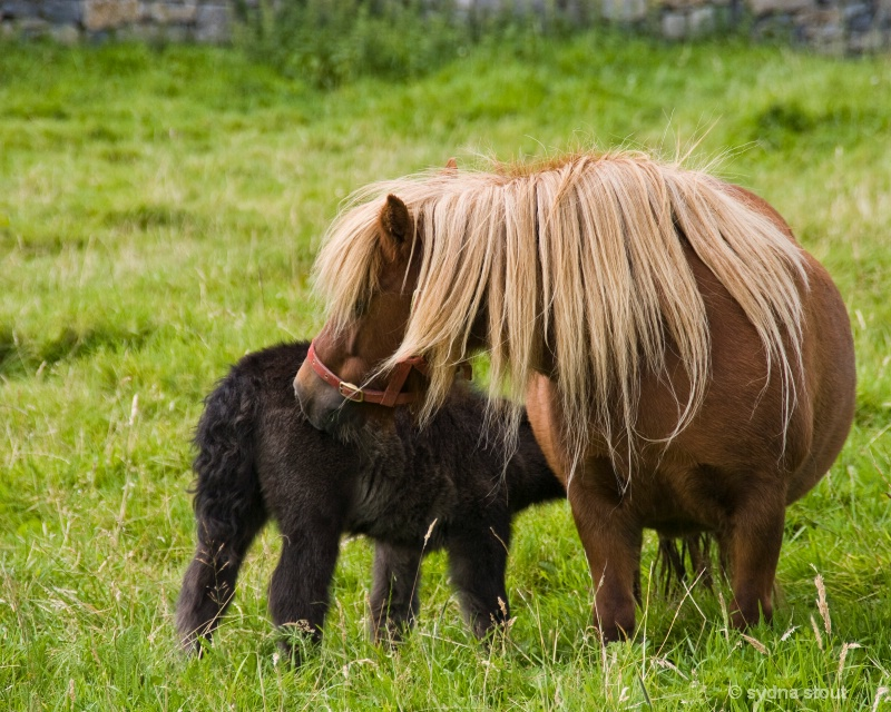irish mare and colt