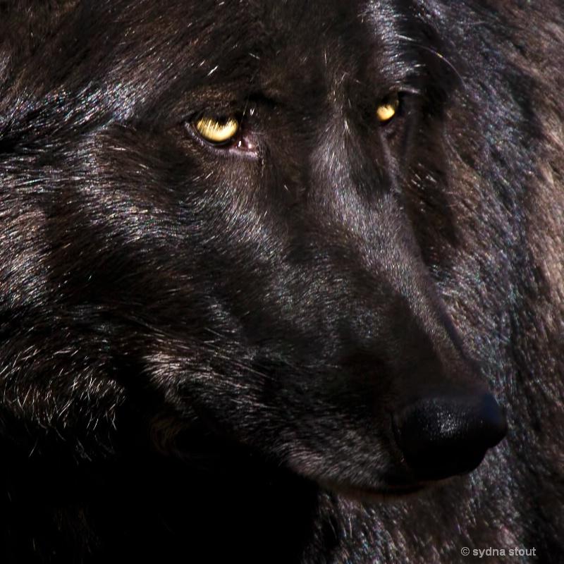 black wolf potrait