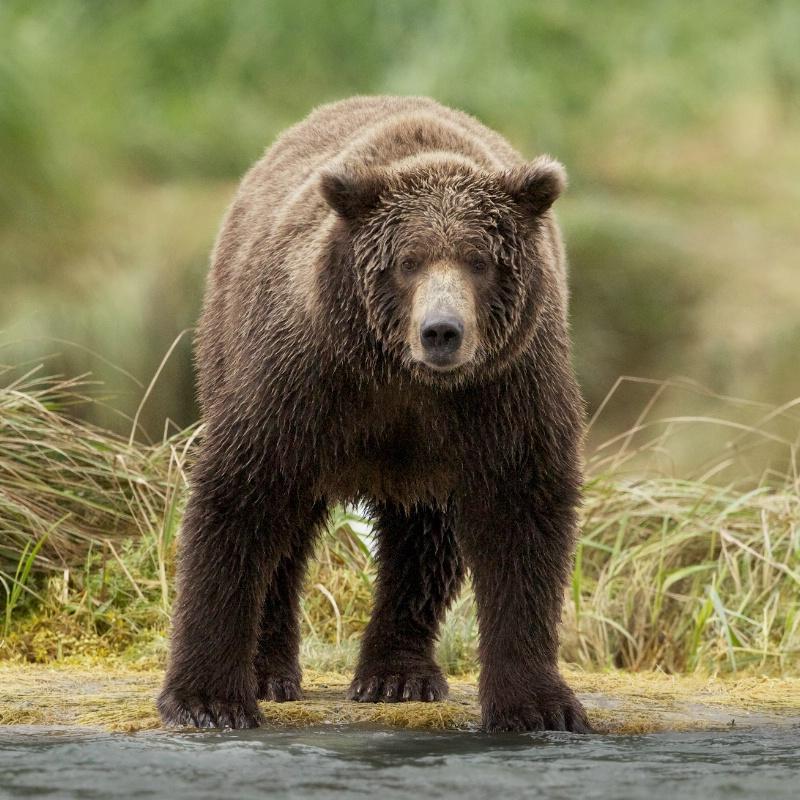 Bear Staring Contest