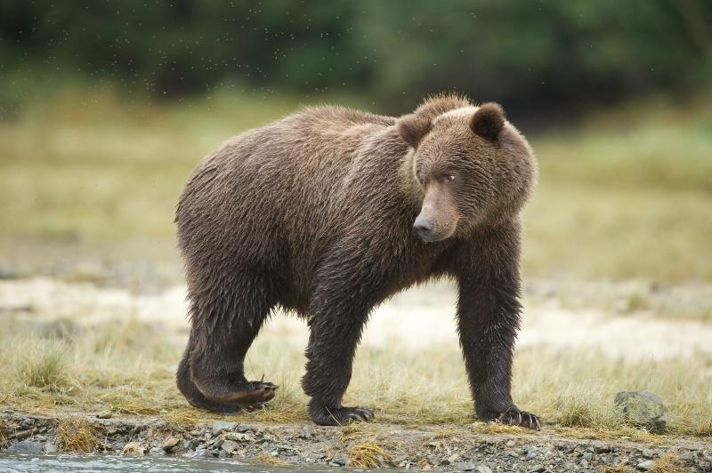 Bear Eyeing Artie Morris