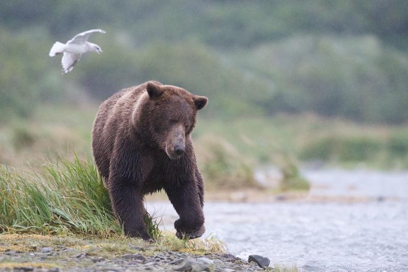 Bear Fishing on the Shore