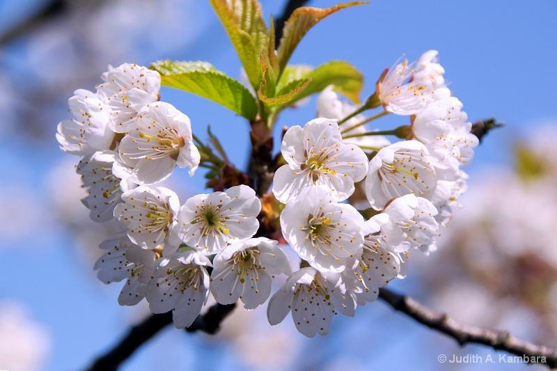 sunny sakura