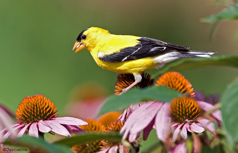 American Goldfinch on Coneflowers