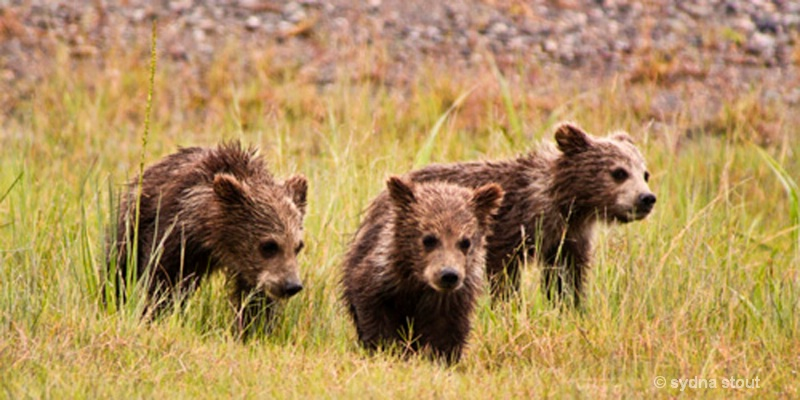 coastal brown bear triplets
