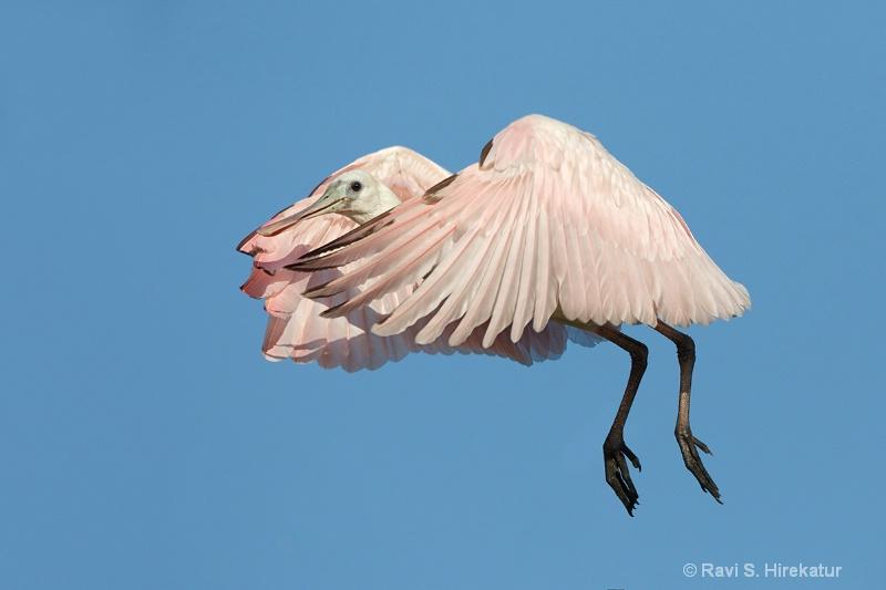 Juvenile Roseate Spoonbill, SAAF, FL