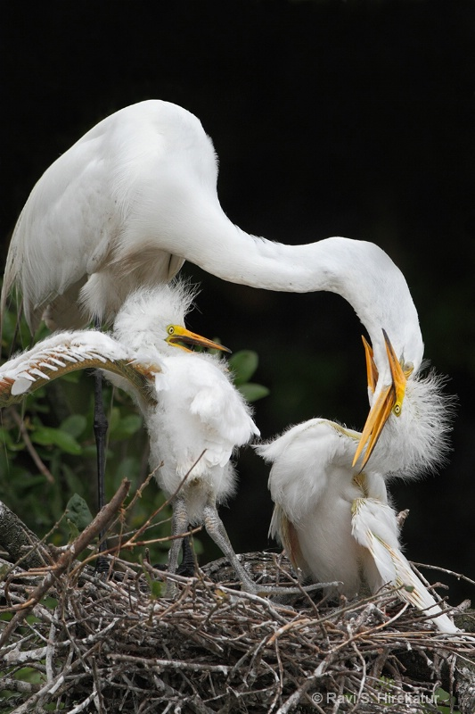 Great Egret feeding chicks, SAAF, FL