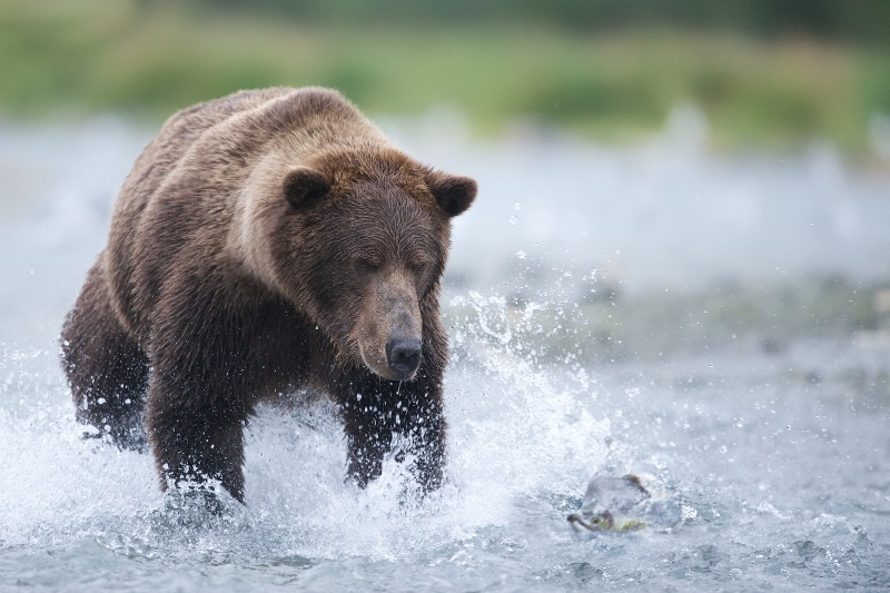 Grizzly Bear Chasing Salmon