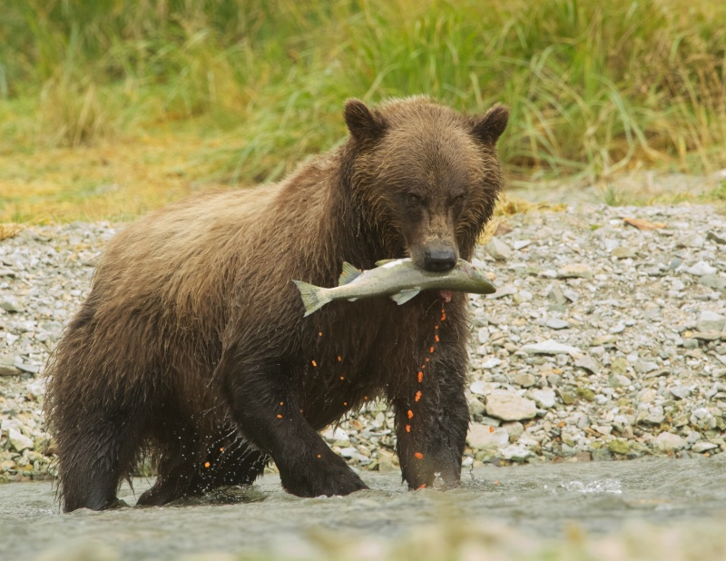 Brown Bear with Salmon and Roe