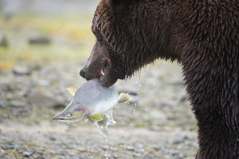 Salmon with Bear
