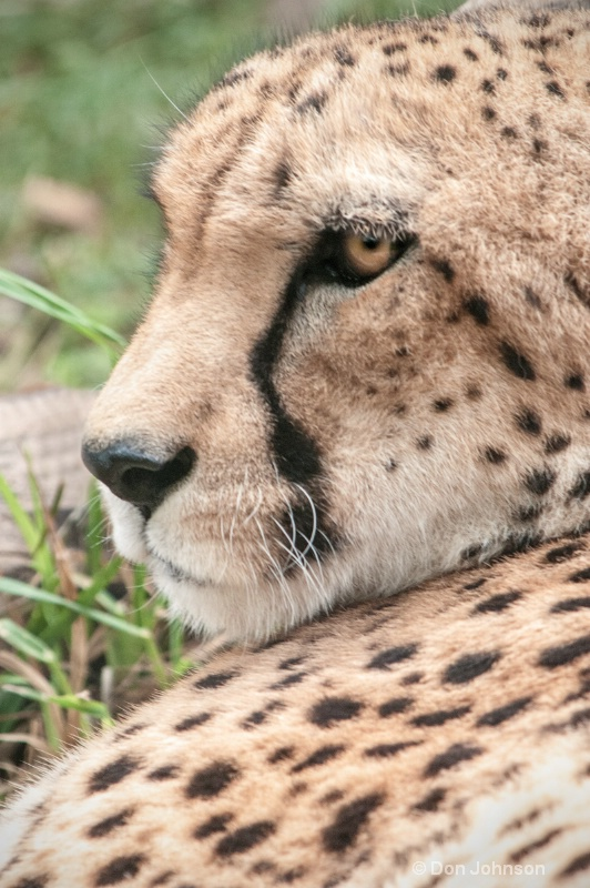 MD Cheetah