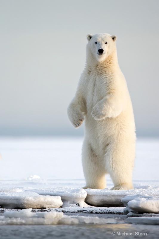 polar-bear-vert-1-12x18-october132013 ei7u0531kakt