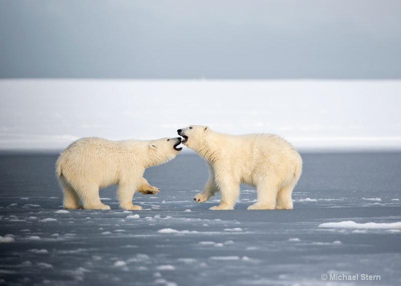 two-polar-bears-talking-1-october132013 ei7u1066ka