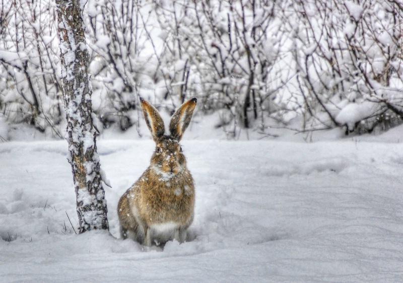 Snowy Rabbit